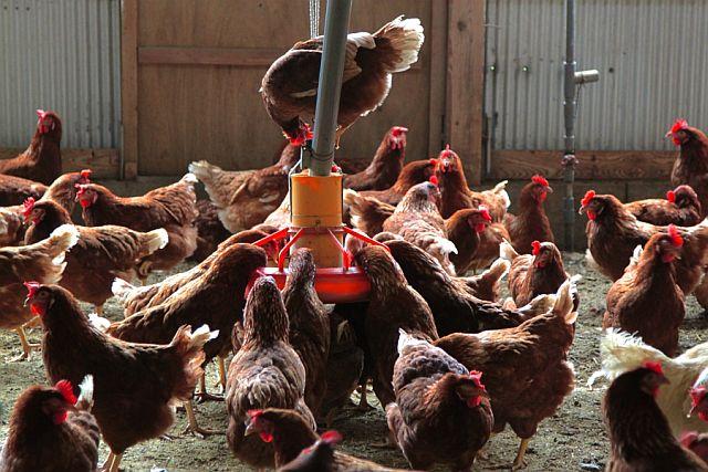 米国養鶏業界におけるアニマルウェルフェアの現状